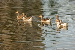 Geese swimming in a lake. stock images