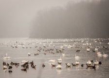 Geese Swimming on Lake Royalty Free Stock Images