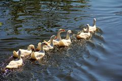 The geese swimming. The geese are lined up in the parade Royalty Free Stock Images