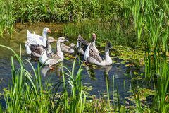 Geese swimming in marshy pond Stock Image