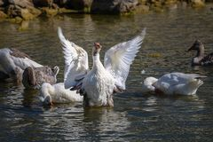 Geese swimming stock photography