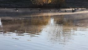 Geese swimming in pond with cold mist. This is a video of some geese swimming in a pond on a cold morning. Mist and fog can be seen coming off the water stock video