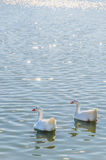 Geese swimming in the pond. Geese swimming together in a pond. Gander, waterfowl, poultry, domestic avian Royalty Free Stock Photography