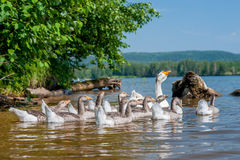Geese swimming in the river Stock Photo