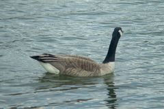 Geese swimming in the Water. Geese swimming in the rippling Water of a lake in Chicago stock photo