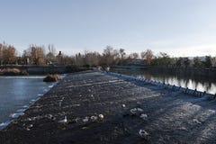 Geese on the Tajo river, Aranjuez. Madrid, Spain Stock Image
