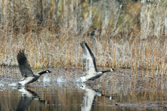 Geese taking flight. Two Geese are taking flight in a wetlands area near Newport, Washington Royalty Free Stock Images