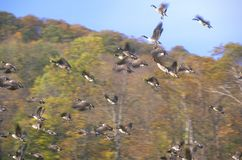Geese taking flight in Autumn, NY Royalty Free Stock Images