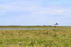 Geese taking flight Royalty Free Stock Image