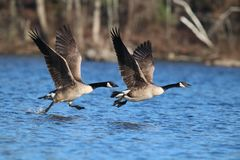 Geese Taking Flight stock photo