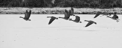 Geese taking off over a frozen lake. A flock of geese taking flight over a frozen lake Stock Image