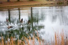 Geese taking off from the water Royalty Free Stock Images
