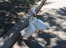 Geese taking a walk Royalty Free Stock Image