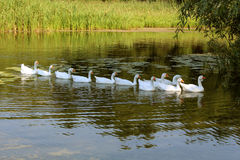 Geese in tandem Stock Photography