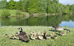 Geese With Their Baby Goslings. Photo Of Geese With Their Baby Goslings royalty free stock photo