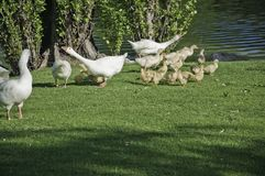 Geese with their offspring Royalty Free Stock Photography