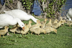 Geese with their offspring. This image shows a family from geese protecting their young Royalty Free Stock Photo