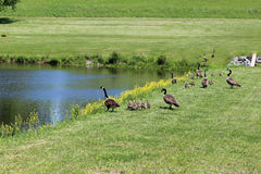 Geese with their young Stock Images