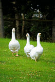 Geese threesome. 3 geese awalking stock photography
