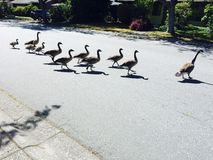 Geese. Time to cross the road Stock Image
