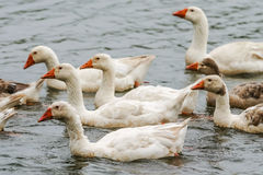 Geese together Stock Image