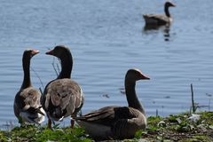 Geese together in fron the a little lake in Dutch parc stock photos