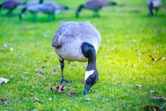 Geese at Tom McCall Waterfront Park Stock Photo