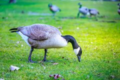 Geese at Tom McCall Waterfront Park Royalty Free Stock Photos
