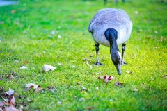 Geese at Tom McCall Waterfront Park Royalty Free Stock Images