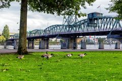 Geese at Tom McCall Waterfront Park in Portland, Oregon stock images