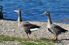 Geese of Toulouse Stock Photography