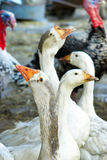 Geese and turkeys Royalty Free Stock Photo