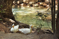 Geese. Two white goose are sitting near a mountain river Royalty Free Stock Photo