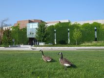 Geese on university campus Royalty Free Stock Photography