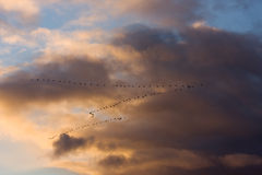 Geese in V formation Royalty Free Stock Photo
