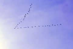 Geese in v pattern Royalty Free Stock Photography