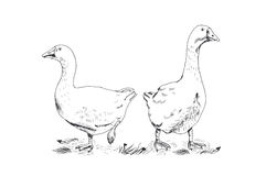 Geese, vector illustration Stock Image