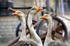 Geese in the village Royalty Free Stock Photos