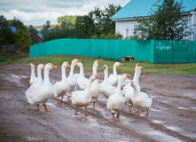 Geese in the village. A flock of white geese is on a wet road in the village Stock Photo