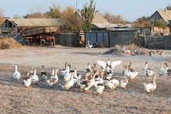 Geese on the village road. The concept of tasty and healthy ecological food.  Royalty Free Stock Images