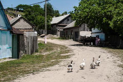 Geese on the village square Stock Photography