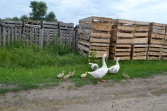 Geese. In the village street Royalty Free Stock Photos