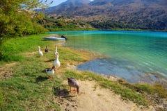 Geese walkin on Kurna lake shore Stock Photos