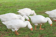Geese Royalty Free Stock Images