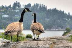 Geese walking away. A couple of geese taken in Vancouver, Canada Royalty Free Stock Photos