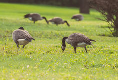 Geese walking and eating in green grass Stock Photos