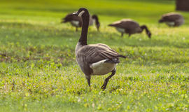 Geese walking and eating in green grass Royalty Free Stock Photography