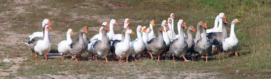 Geese walking on field in countryside. White goose walking in countryside. Geese detachment going on field. Geese go in poultry yard. Domestic birds. Geese stock photo