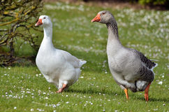 Geese walking on grass Royalty Free Stock Photo