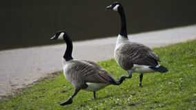 Geese walking on grass stock photography